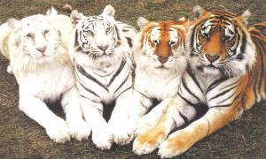 Colores de los Tigres